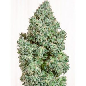 Blue Dream Granel