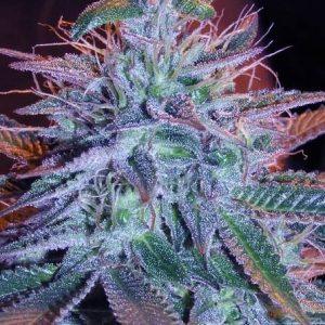 blueberry granel feminizada