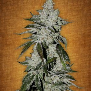 Girl Scout Cookies Granel fem