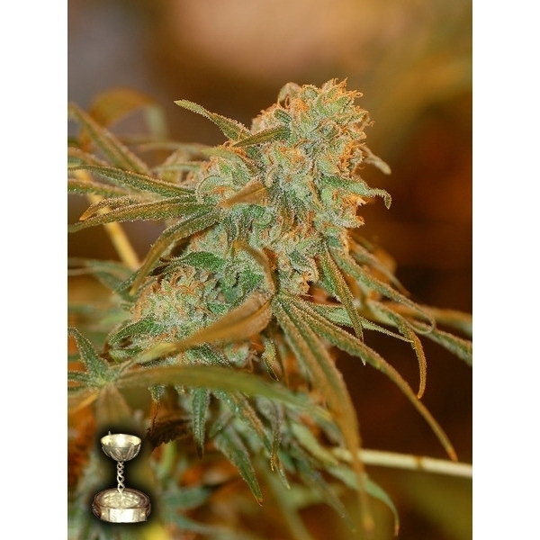 lemon skunk granel fem
