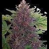 Purple Kush Auto Granel